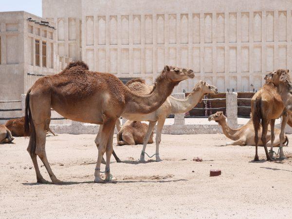 Avio karte Beograd Doha kamile